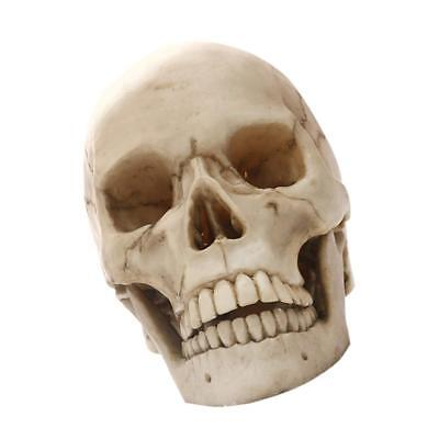 Lifesize 1:1 Realistic Human Skull Replica Resin Model Medical Prop Craft