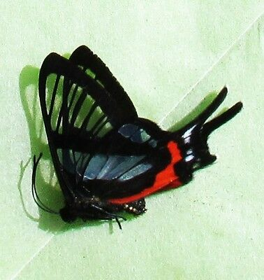 Rare Sylphina Angel Butterfly Chorinea sylphina Clear Forewings Folded FAST USA