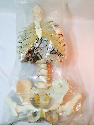 """3B Scientific A56/2 Classic Flexible Spine Model with Ribs and Femur Heads 32.7"""""""