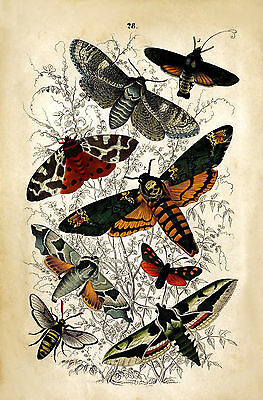 Antique Natural History Reproduction Print of Moths 18th Century METAL TIN SIGN