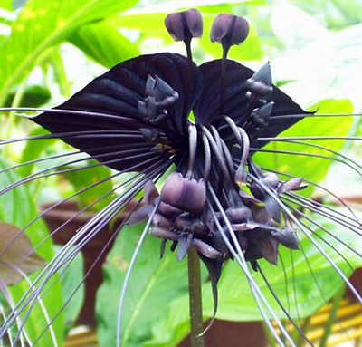 100 Pcs/bag Black Tiger Orchid Flowers Seeds Rare Flower Orchid Seeds For Garden