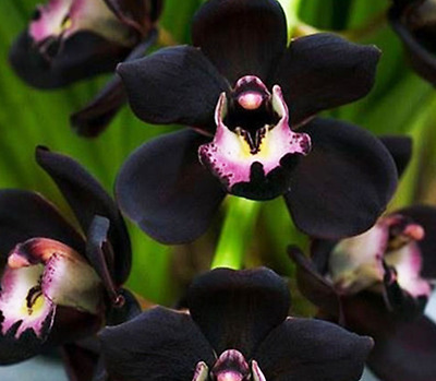 Orchid Seeds 100 PCS/lot Unique Black Orchid Cymbidium Faberi Garden Flowering