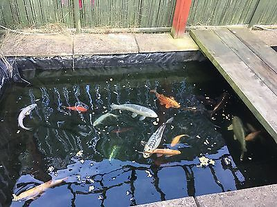 Pond fish for sale picclick uk for Live pond fish for sale