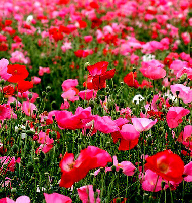 1400000 seeds of Poppy Varied / Red Roses White / Poppy