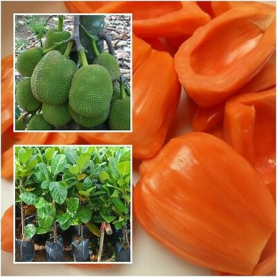 """Red Jackfruit Tree plant grafted Tall 22"""" jack tree jakfruit delicious Thailand"""