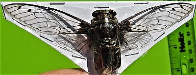 "Clear Wing Cicada Macrotristia chantranei Spread 4-5"" FAST SHIP FROM USA"
