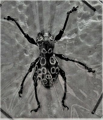 Rare Black Spot Weevil Pachyrrhynchus congestus ssp. FAST SHIP FROM USA