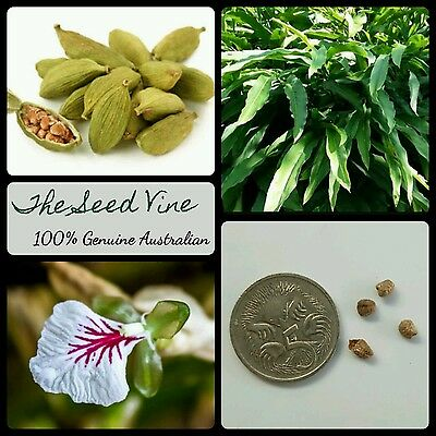 10+ GREEN CARDAMOM SEEDS (Elettaria cardamomum) Indian Tropical Edible Spice