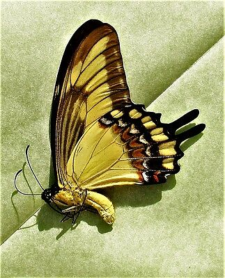 Swallowtail Butterfly Papilio lycophron phanias Male Folded FAST FROM USA