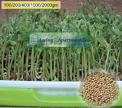 Sprouting Snow Pea seeds (real name Field Pea) ( Sprouts , Sprouting seeds )