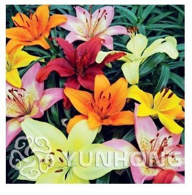 Lily Seeds Mixing Different Varieties 100 PCS Lily Seed Lily Flower Garden Plant