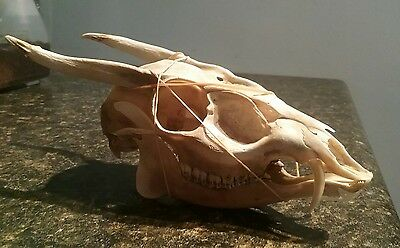Real Muntjac Skull.usa Shipper.real Skull.gothic.taxidermy.