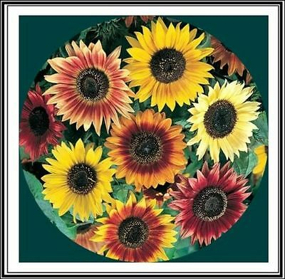 75 Seeds BIO of Sunflower Beauty of Autumn / Grand Sun / Flowers Cut