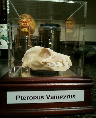 "Giant Real Bat Skull.taxidermy.2.5"" Skull.flying Fox,displayed In Glass Cube"