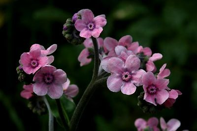 CHINESE FORGET-ME-NOT (Cynoglossum Amabile Mystic Pink) 50 seeds