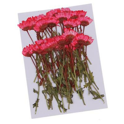 50pcs Pressed Real Dried Flowers Chrysanthemum for DIY Art Craft Card Making