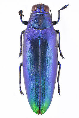 Chrysochroa fulminans fulminans colbatina Blue Violet Jewel Beetle Ship From US