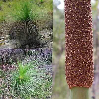 DWARF GRASS TREE (Xanthorrhoea Resinosa) SEEDS 'Bush Tucker Food'
