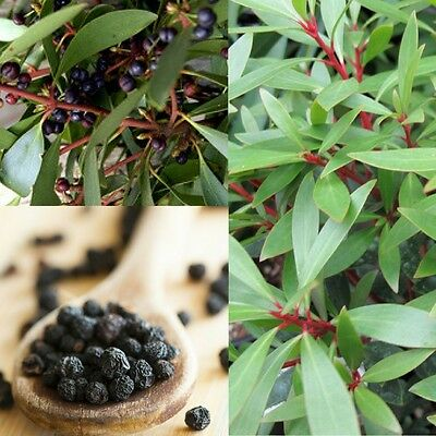 NATIVE MOUNTAIN PEPPER (Tasmannia lanceolata) SEEDS 'Bush Tucker Food'