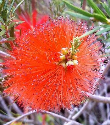 Melaleuca Lateritia – Robin Red Breast Bush  - 200 Fresh  Seeds