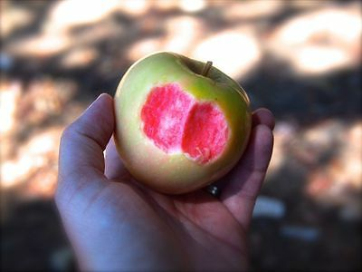 RARE apple Tree Pink Pearl Redfleshed Pre order Red flesh