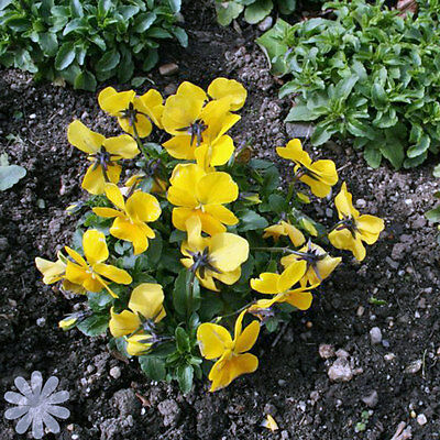 Viola Cornuta 'Prince John' Plant - Growing Fast - in 7cm pot