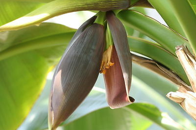 3 Pack - Banana Plants  (Musa sikk, sp, cheesemani) - Growing Fast - in 7cm pots