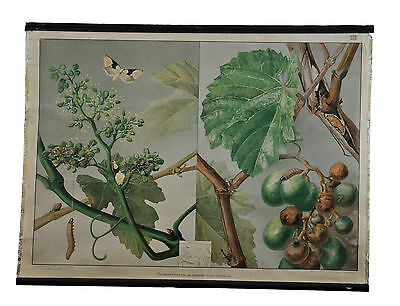 old poster rollable wall chart grape berry grapevine moth butterfly insect r0219