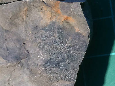 Fossil Plants from Carboniferous. Cyperites Bicarinatus & Neuropteris (6 x scan)