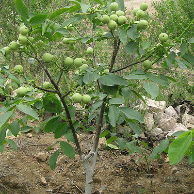 1 Seed/Pack Walnut seed walnut wholesale walnut seed and fruit year results