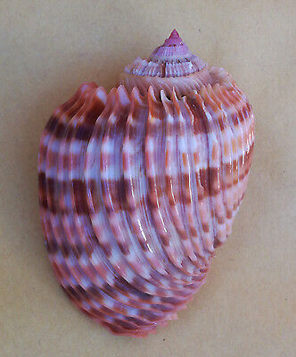 SHELL CONCHIGLIA HARPA COSTATA mm.75,1 ST.BRANDON MAURITIUS