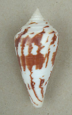 SHELL CONCHIGLIA CONUS PERGRANDIS mm.91 BOHOL FILIPPINE