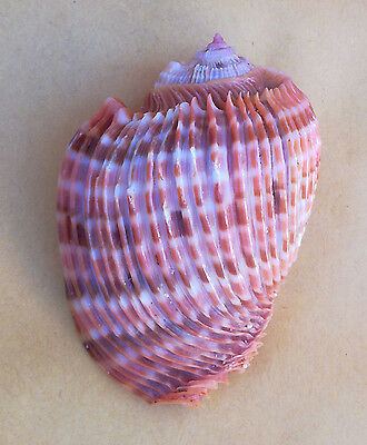 SHELL CONCHIGLIA HARPA COSTATA HUGE SPECIMEN mm.80,1 ST.BRANDON MAURITIUS