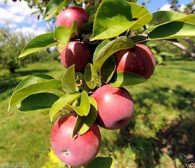Apple tree seeds (Cider Varieites) Malus pumila -Great For Cider,Hardy to zone 3