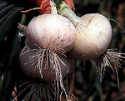 30 Bermuda White Onion Plants, Also known as Crystal Wax, Good for fresh eating