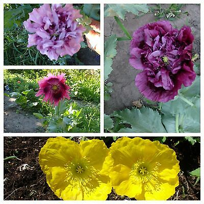Poppy, MIX from the most beautiful,best varieties mixed seeds, 200 seeds