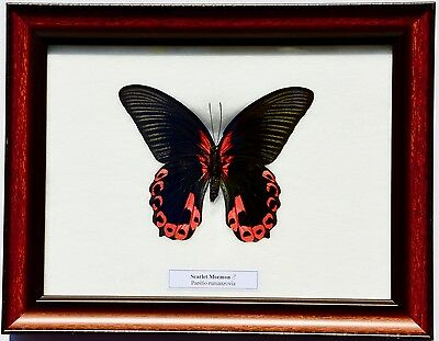 Real Papilio Rumanzovia / Scarlet Mormon Butterfly (Male) In Framed Display