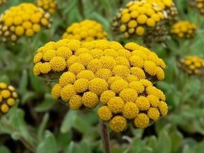HELICHRYSUM 100% NATURAL PURE UNDILUTED UNCUT ESSENTIAL OIL 5 Ml-100 Ml