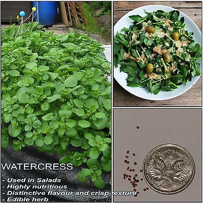 AQUA WATERCRESS SEEDS (Nasturtium officinale); Vitamin rich edible herb