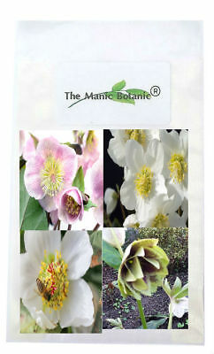 Helleborus - 2019 Mixed SEED - 20 Seeds - Yellow White Pink Red & Black Parents