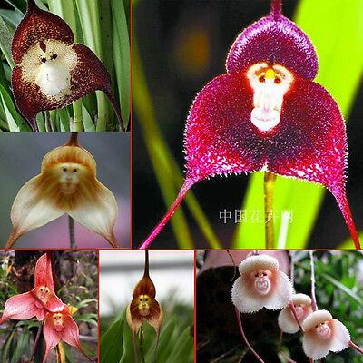 Rare 5 x Monkey Face Orchid  Flower Seeds,Mixed Colours.*UK SELLER*