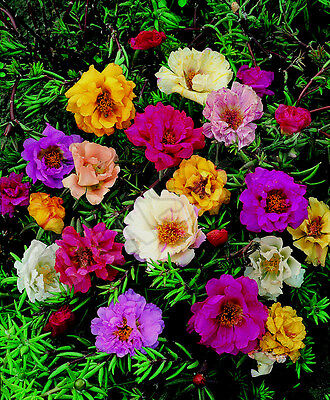 1000 Seeds Purslane to Grandes Flowers Double Varied / Portulaca