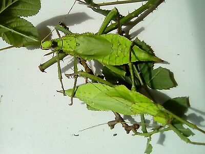 1 pair of juvenile jungle nymph stick insects