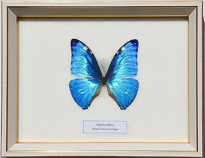 Real Morpho Adonis Butterfly In White Display: Taxidermy