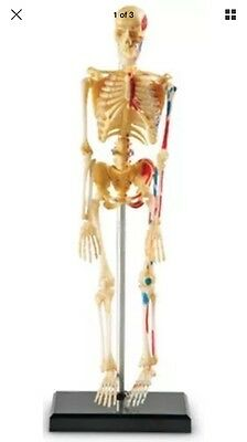 Human Anatomy Skeleton Model Learning Resources w/ Stand BRAND NEW