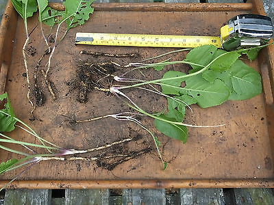 Horseradish Roots/Thongs - Ready to Plant & Grow Armoracia Rusticana