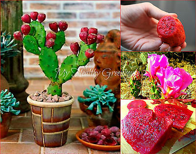 "SEEDS – VERY RARE Super Dwarf ""Low Prickly Pear"" Cactus (Opuntia humifusa)"