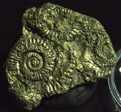 AMMONITE-pyritized Golden Crucilobiceras densinodum,FOS-D43,56.70ct,.,37x34x5mm