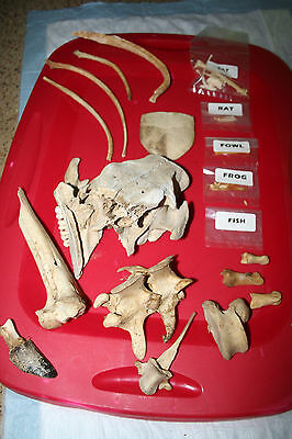 Animal Skulls and bones  including a Human Skul Skeleton(Replica) disarticulated