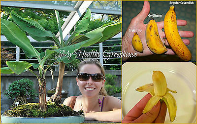 "SEEDS - Extremely Dwarf Musa ""Truly Tiny"" Edible Banana – Indoor Outdoor Plant"